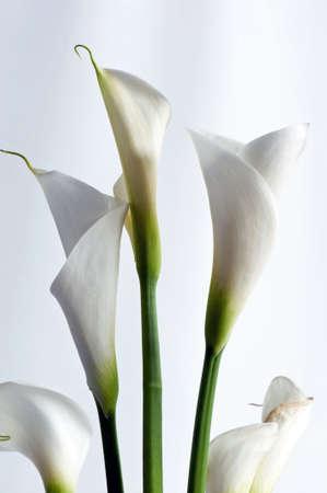 Closeup of white Zantedeschia aethiopica flower isolated on white Stock Photo