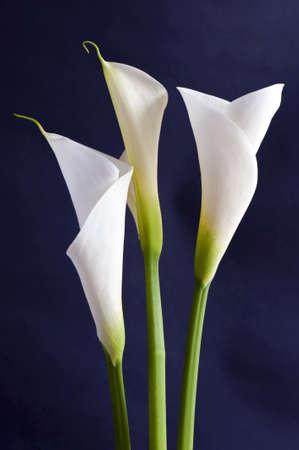 Drie witte Callas geïsoleerd op zwarte achtergrond in ORIZONTALE in verticale