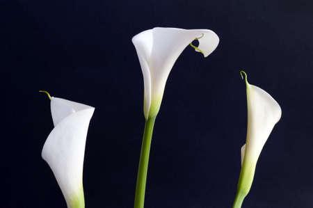 calas blancas: Tres Callas blanco sobre fondo negro en orizontal en orizontal Foto de archivo