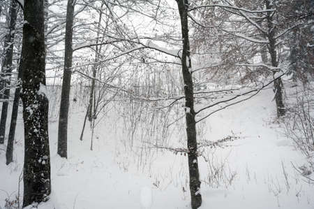 particolare: Particolare di una foresta congelata