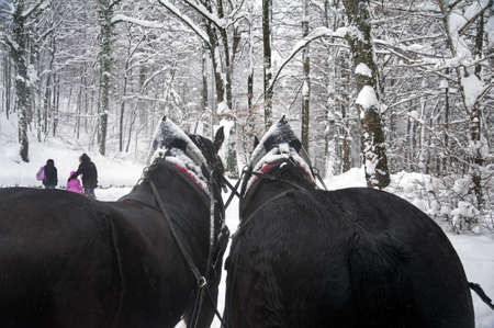 horse sleigh: A horse-drawn carriage trotting during a snowfall Stock Photo