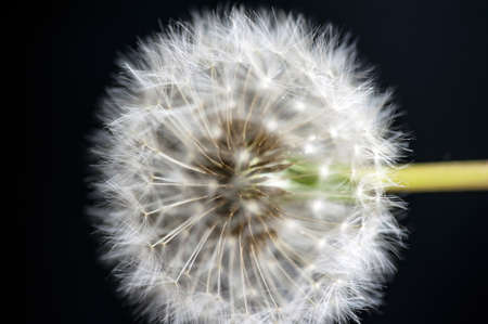 pappy: Macro of a dandelion ripe fruit  Taraxacum officinale  isolate on black in vertical Stock Photo