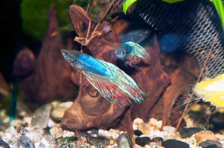 Two Siamese fighting fishs in a fish tank photo