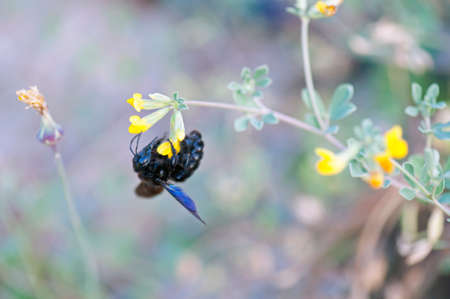 Violet carpenter bee  photo