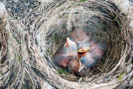 turdus: A nest with some baby birds Turdus merula