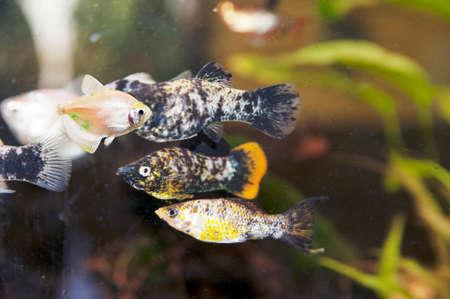 molly: Common molly in aquarium