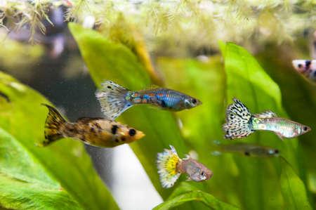 poecilia: Guppy in aquarium Stock Photo