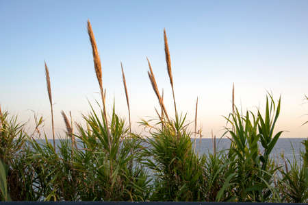 rushy: Reeds in bloom along the coast Stock Photo