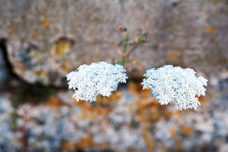 Inflorescence of a plant of wild carrot Stock Photo