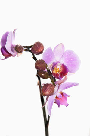 Close-up of pink flowers of Orchidaceae isolated on white.
