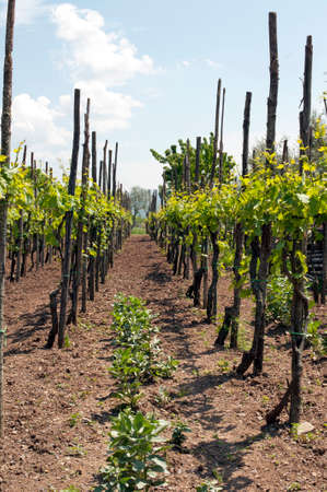 A plantation of grape-bearing vines on a mountain in the Campania region, Italy.