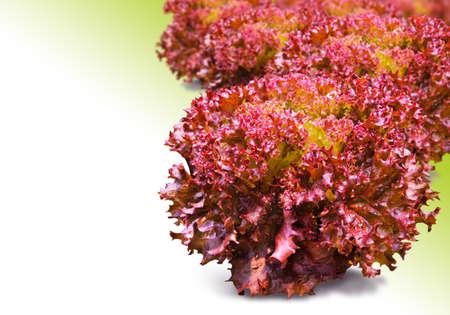 corallo rosso: Red Coral