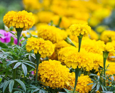 garden marigold: Marigold in the garden