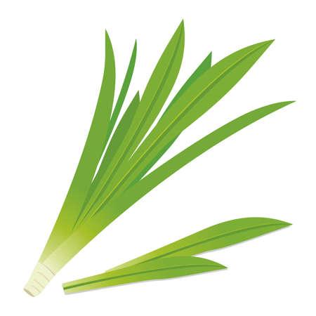Pandanus leaves Illustration
