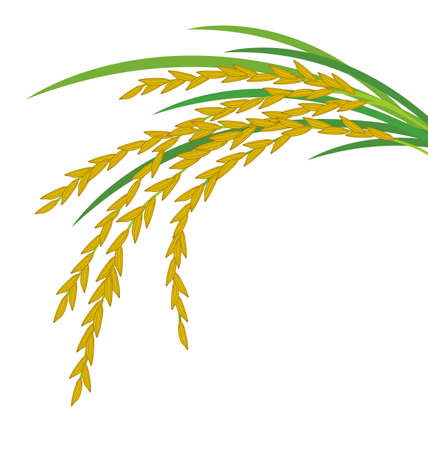 grain field: Rice design on white background