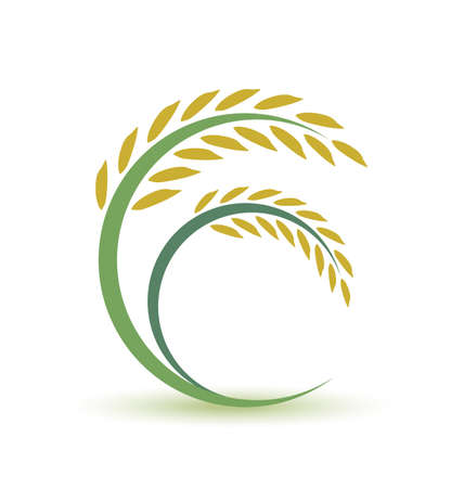 cereal plant: Rice design on white background