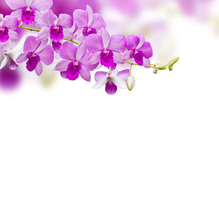 dendrobium: Orchids on white background Stock Photo