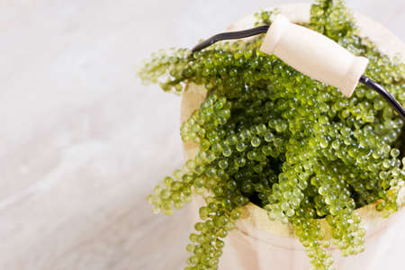 Sea grapes in wooden tank