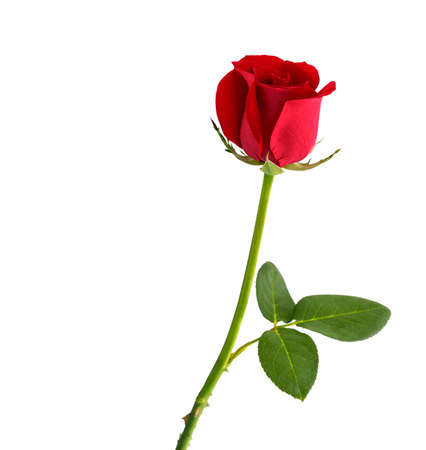 mate married: Red rose on white background with clipping path