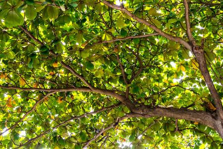 sylvan: Sea almond in the garden