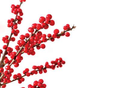ilex verticillata or winterberry holly on white background