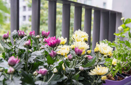 Home and garden concept of chrysanthemum flowers in pot on the balcony