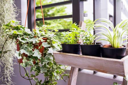 Casa y jardín concepto de planta de hiedra Inglés en bote en el balcón Foto de archivo - 82764280