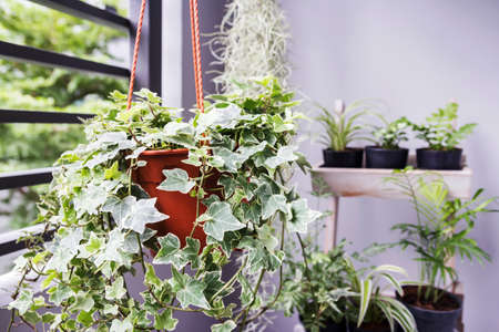 Home and garden concept of english ivy plant in pot on the balcony Stok Fotoğraf - 82824092