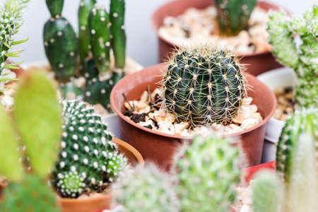 Lobivia cactus in pot Stock Photo