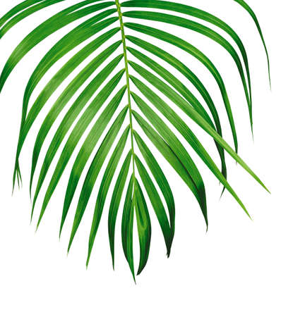 Green tropical leaf of yellow palm isolated on white background with clipping path Фото со стока