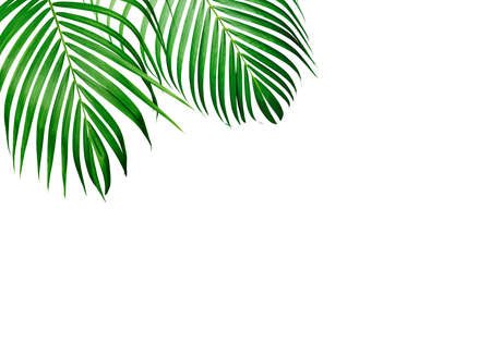 Green tropical leaf of yellow palm isolated on white background with copy space Foto de archivo