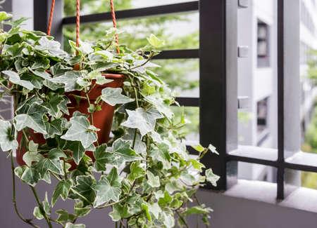 バルコニーのポットに英語のツタ植物の家庭と庭のコンセプト
