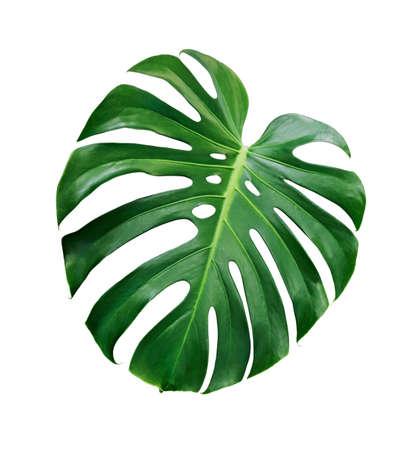Monstera deliciosa tropisch blad dat op witte achtergrond met het knippen van weg wordt geïsoleerd Stockfoto