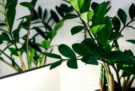 Zamioculcas zamifolia or Zanzibar gem plant in the bathroom