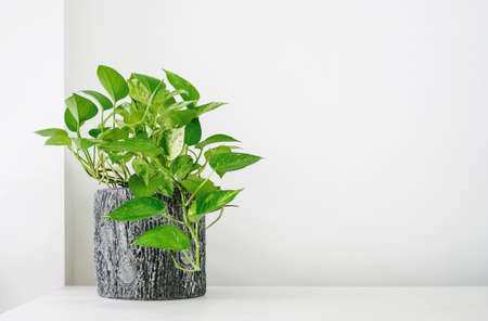 Golden pothos or Epipremnum aureum on white table in the living room home and garden 免版税图像