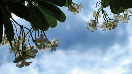 Frangipani or Plumeria flowers with blue sky and clouds in the garden Stock fotó