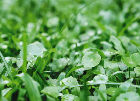 Gotu kola on grass in the garden