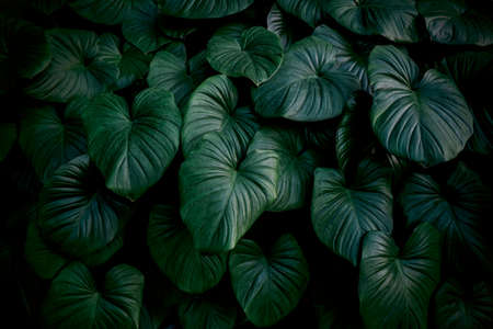Tropical leaves background of king of heart in the garden Stock Photo