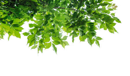 Green leaves isolated on white background Archivio Fotografico