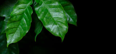 Arabica coffee leaves on black background with copy space