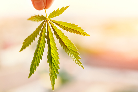 Marijuana symbol medical concept. Cannabis leaf in sunlight at sunset close up on a blurred background
