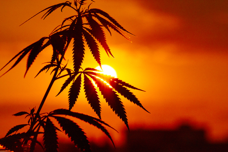 Cannabis, marijuana plants before harvest time in sunshine. Outdoor cultivation silhouette plant. Warm shades of setting sun