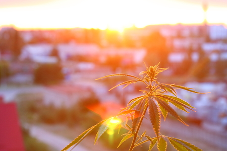 Thematic photos of hemp and marijuana in sunlight. Silhouette ganja, cannabis on blurred background with warm shades of setting sun. Concept of drug cultivation