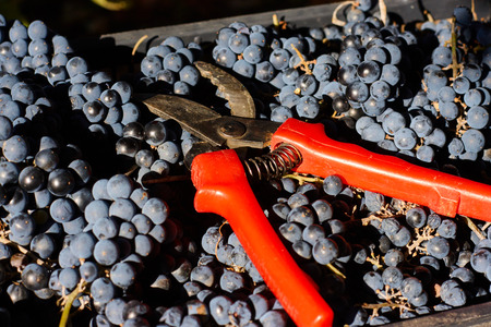 Blue grapes for winemaking. Grapes on branch in vineyard in Italy. Red scissors in the drawer. Harvesting. Фото со стока
