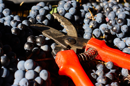 Blue grapes for winemaking. Grapes on branch in vineyard in Italy. Red scissors in the drawer. Harvesting. 免版税图像