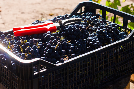Blue grapes for winemaking. Grapes on branch in vineyard in Italy. Red scissors in the drawer. Harvesting. Stock Photo