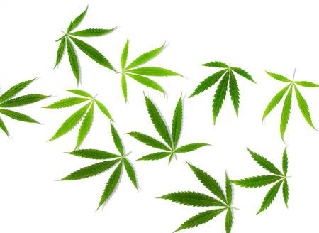 Green cannabis leaves, marijuana on white background. Hemp, ganja leaf. Top view, image wallpaper close up