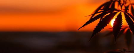 Panorama of marijuana with blurred background at sunset. Silhouette of cannabis against the sky. Growing hemp. Copy space Фото со стока