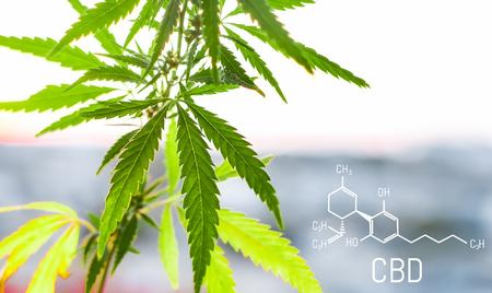 Cannabis of the formula CBD cannabidiol. Concept of using marijuana for medicinal purposes. Stockfoto