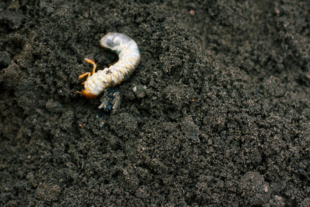 Larva. Vile disgusting maggot. Image of grub worms. Beetle larvae. Nasty insect. Pest root. Sickening animal. 免版税图像